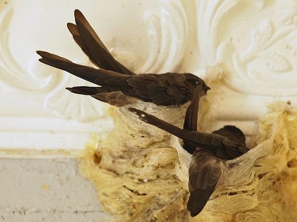 Cách nuôi chim yến tại nhà thành công